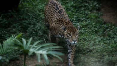 Photo of Cámaras capturan a un joven jaguar macho en el parque nacional de Costa Rica