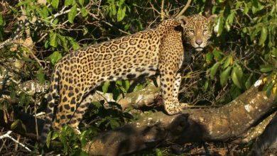 Photo of Se proponen recuperar la población de jaguares y los ecosistemas para su desarrollo antes de 2030
