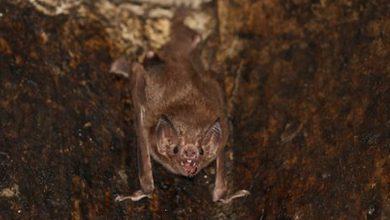 Photo of Hallaron murciélagos en Tailandia con un nuevo coronavirus