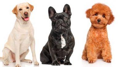 Photo of Cuáles son las razas de perros más populares en el mundo